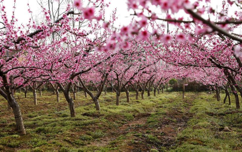 常德桃花源是国家级风景名胜区,国家4A级景区、国家森林公园、国家重点文物保护单位。结合美丽乡村建设,桃花源风景区周边乡村已逐渐发展成为以花为媒的集赏花、釆摘、垂钓、餐饮、民宿、民俗等于一体的休闲农业产业,吸引众多游客观赏田园风光,体验田园生活。 桃花源每年3月举办一届以观赏桃花为主要内容的桃花节活动。吸引全国各地和海外游客专程前来观赏,并游览桃花源的风景名胜区。在赏花观景的同时,还可到桃花山探幽小桥流水,可到桃源山一览沅水风光,可到秦谷体验民俗风情,可到桃花源古镇品尝擂茶美味,可到桃川宫感悟道教胜境,