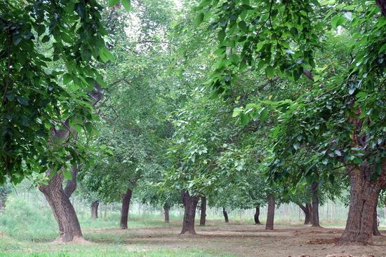 中国树龄最高、规模最大的古桑树群位于山东夏津县东北部黄河故道中。夏津黄河故道古桑树群占地6 000多亩,百年以上古树2万多株,涉及12个村庄,被命名为中国椹果之乡,是远近闻名的中国北方落叶果树博物馆,是国际生态安全旅游示范基地。   山东夏津古桑树种植时期跨元明清三朝。特别是清康熙十三年(公元1674年)至20世纪20年代,百姓掀起植桑高潮,鼎盛时期种植面积达8万亩。相传此间树木繁盛,枝杈相连,援木可攀行二十余里。千百年的选育,桑树在夏津已由叶用变为果用。附近居民多食桑椹而长寿,因此