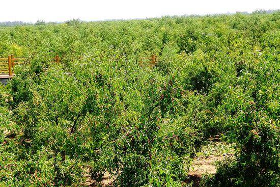 第三批中国重要农业文化遗产名单:山东乐陵枣林复合系统