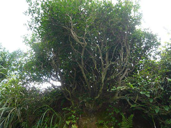 【第三批中国重要农业文化遗产名单】贵州花溪古茶树与茶文化系统