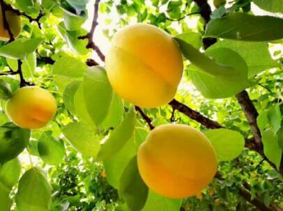 第四批中国重要农业文化遗产名单:陕西蓝田大杏种植系统
