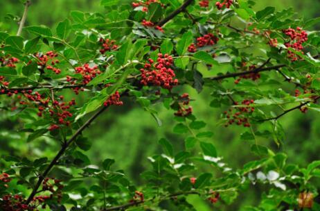 第四批中国重要农业文化遗产名单:陕西凤县大红袍花椒栽培系统