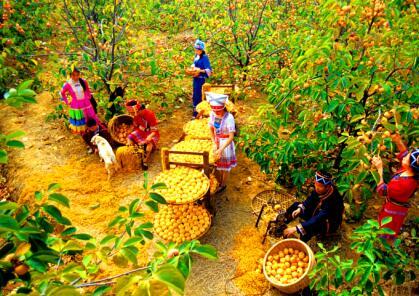 第四批中国重要农业文化遗产名单:广西恭城月柿栽培系统