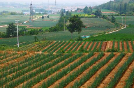 第四批中国重要农业文化遗产名单:山东章丘大葱栽培系统
