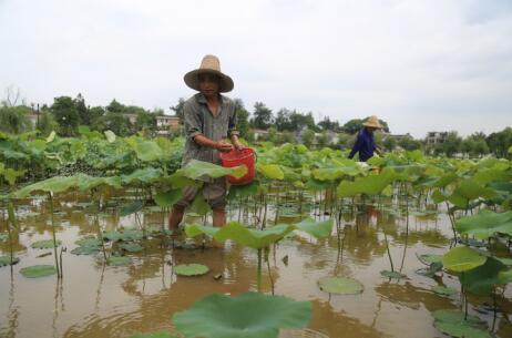 第四批中国重要农业文化遗产名单:江西广昌莲作文化系统