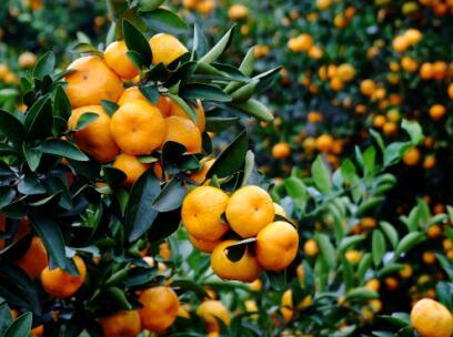 第四批中国重要农业文化遗产名单:江西南丰蜜橘栽培系统