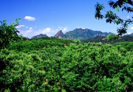 第四批中国重要农业文化遗产名单:河北迁西板栗复合栽培系统